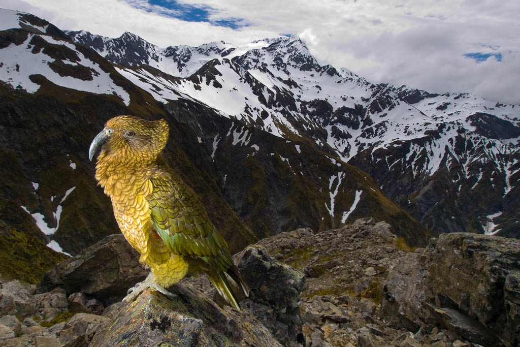 Kea Mountain Parrot (nestor notabilis) Avalanche Peak / Arthur's Pass National Park - New Zealand Imet this parrot 2000 meters above sea level in her natural habitat.Colorful parrot in this environment was for me avery unusual viewKea are endemic (unique toNew Zealand), and are found only in or near the mountains of the South Island. Where these are close tothe coast, kea may travel down tosea level. They live in high-altitude beech forest and open subalpine herbfields, up into snow country. Red List Category : Vulnerable